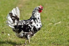 Black and white hen Stock Image