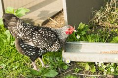Black and white hen at farmyard, hen picking corn royalty free stock images