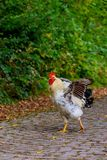 Black white hen on the road Royalty Free Stock Images