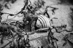 Black and white hermit crab Royalty Free Stock Photography