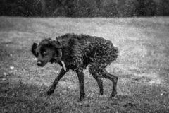 Black and white high speed photograph of a dog on the grass shaking off water. Funny pet moments in school camp stock photography