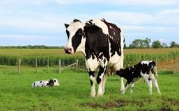 Mother Holstein cow bonding with her very newborn twin calves. Black and white Holstein Cow standing with twin calves one nursing the other laying in the grass stock images