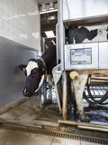 Black and white holstein cow waits for other cow milked by milking robot. On dutch farm in holland Royalty Free Stock Photography