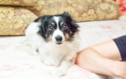 Black and white home dog Royalty Free Stock Photography