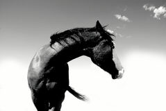 Black and White Horse Arched Neck Stock Photo