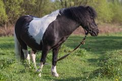 Black and white horse breed pony. Horses graze in the meadow. The horse is eating grass. The picture was taken on a bright sunny day. Spring. The grass is royalty free stock images