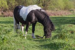 Black and white horse breed pony. Horses graze in the meadow. The horse is eating grass. royalty free stock photos