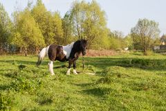 Black and white horse breed pony. Horses graze in the meadow. The horse is eating grass. stock photo