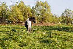 Black and white horse breed pony. Horses graze in the meadow. The horse is eating grass. stock photography