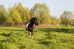 Black and white horse breed pony. Horses graze in the meadow. The horse is eating grass. stock images