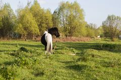 Black and white horse breed pony. Horses graze in the meadow. The horse is eating grass. stock photos