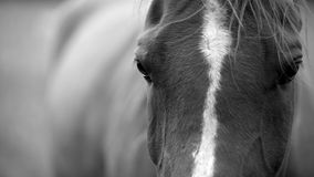 A black and white horse, close up photograph. The brown horse's head in black and white Royalty Free Stock Images