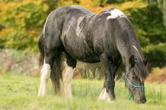 A black and white horse cob feeding on grass. A black and white horse with english autumn countryside. The Irish Cob, also known as the Gypsy Cob, Gypsy Horse or Royalty Free Stock Image