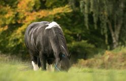 A black and white horse cob feeding on grass. A black and white horse with english autumn countryside. The Irish Cob, also known as the Gypsy Cob, Gypsy Horse or Royalty Free Stock Photo