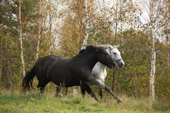 Black and white horse galloping. At the field Royalty Free Stock Images