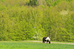 Black and white horse grazing on spring field against the backdrop of the beautiful forest Stock Photos