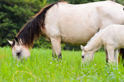 Black white Horse mare and foal in grass Stock Photo