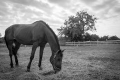 Black and white horse in pasture. Black and white of a horse on a farm in Wisconsin Stock Photo