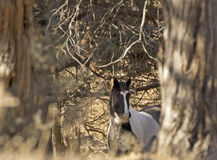 Black and White Horse Peeking Out From Forest Royalty Free Stock Images