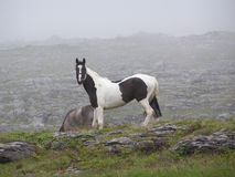 A black and white horse (piebald) on a misty Irish mountain. A black and white horse roaming on a misty mountain in ireland. In 'The Burren', County Clare Royalty Free Stock Images