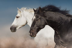 Black and white horse. Portrait in motion royalty free stock images
