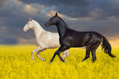 Black and white horse run in flowers. Two horse run in the meadow with yellow flowers Stock Image