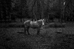 Black and white. Horse in the woods, New Forest Royalty Free Stock Photography