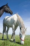 Black and white horses Royalty Free Stock Photo