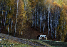 Black and white horses eating besides a forest stock photos