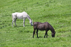 Black and white horses feeding grass Royalty Free Stock Photography