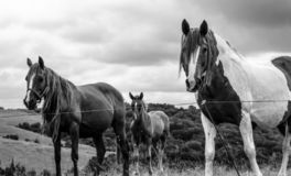 Black and white horses in a field royalty free stock photos