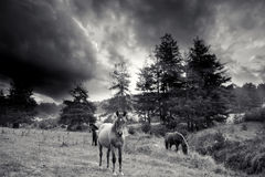 Black and white horses Royalty Free Stock Image