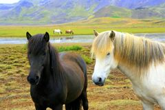 Black and white horses in pasture stock photo