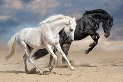 Black and white horses. Run in desert dust royalty free stock photo