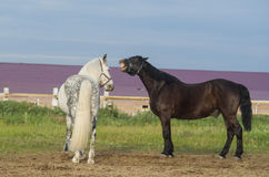 Black and white horses standing on the field Royalty Free Stock Images