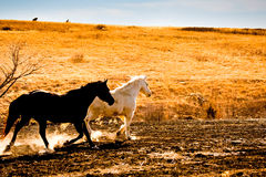 Black and white horses trotting