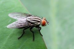 Black & White Housefly stock photo