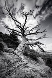 Black and white huge lonely old tree on a mountain with a big root on the rocks. Dramatic style of the sky. Royalty Free Stock Images