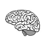 Black & white human brain profile illustration. Scientific medical illustration, symbol of intellect & creativity Royalty Free Stock Images