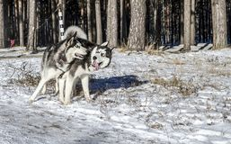 Black and white husky dogs. With blue eyes fun playing in the snow-covered winter forest. Looking at each other Royalty Free Stock Images