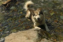 Black and white husky is enjoying, running, hugging in the water, dumb. Swimming husky royalty free stock images