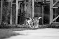 Black & White Husky Puppy Stock Photos