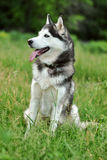 Black and white husky Stock Photography