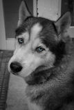 Black and white Husky Stock Images