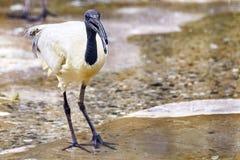 Black - white Ibis. Royalty Free Stock Image