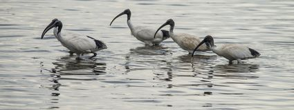 Black and White Ibis flock feeding in sea water off the coast of Kangaroo Island stock photography
