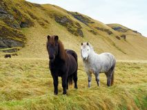 Black and white icelandic horse. Two horses on green field in front of mountain Royalty Free Stock Photo