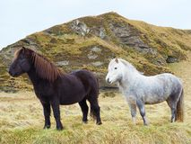 Black and white icelandic horse. Two horses look ahead into the green field behind by mountain Stock Images