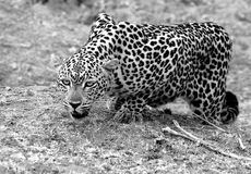 An African Leopard in action, in stalking mode.  South Luangwa National Park, Zambia. Black & White Image of an alert looking African Leopard Panthera Pardus Stock Images