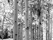 Black and white image of Aspen trees. In the Yosemite Valley Stock Photos